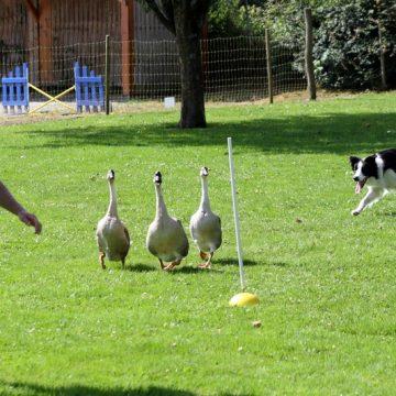 Fête annuelle 2016 dauphine education canine le passge nord isere (7)